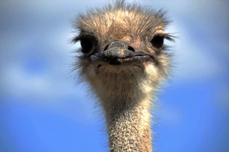 the ostrich, ostrich head, beak, fluff, bird, stupid, grimace, flightless, head, view
